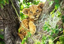 Nat Geo WILD: Big Cat Month