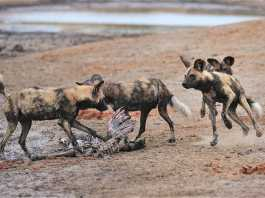 Tintswalo Lapalala Wilderness saving wild dogs