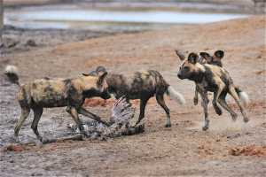 Tintswalo Lapalala Wilderness saving wild dogs