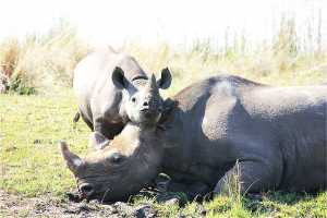 Walk amongst rhino in Zimbabwe