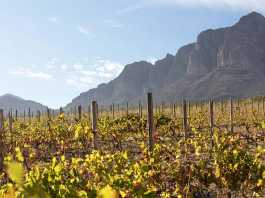 Bush vines, also known as 'goblet vines', sprawl across the ground at Welgegund. Picture: Karen Watkins