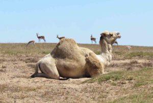 A curious camel called Freddie